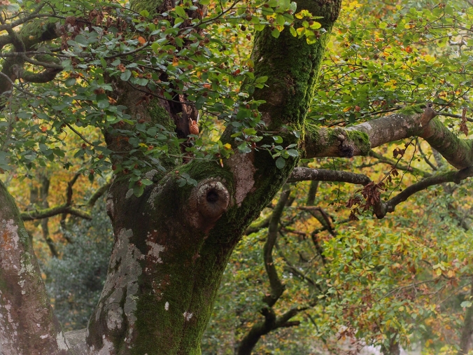 A beautiful tree in Cuvier (Autumn 2016)