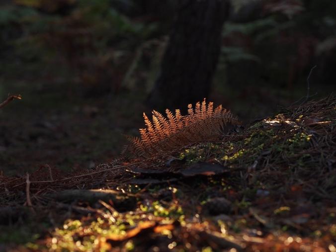 Fallen leaf in Isatis, Fontainebleau
