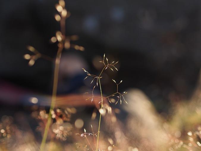 Grass in Luohua, Finland