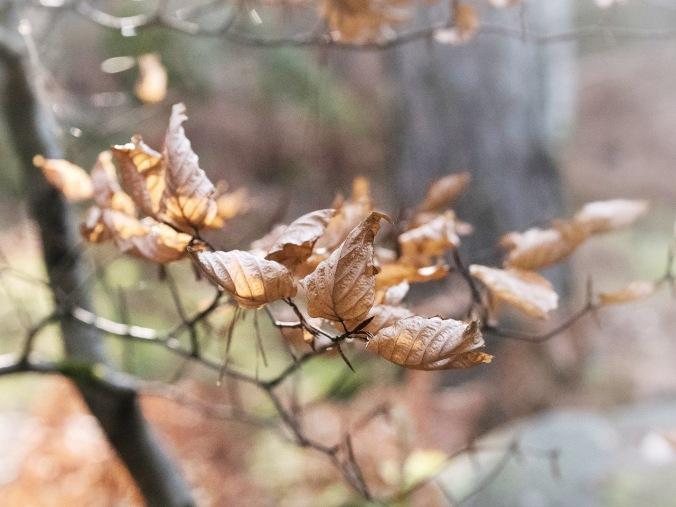 Syksyn lehtiä puissa keväällä (Forêt de Fontainebleau, Ranska)
