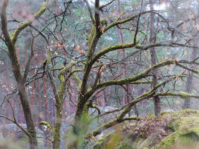 Puiden oksia (Fontainebleaun metsä, Ranska)