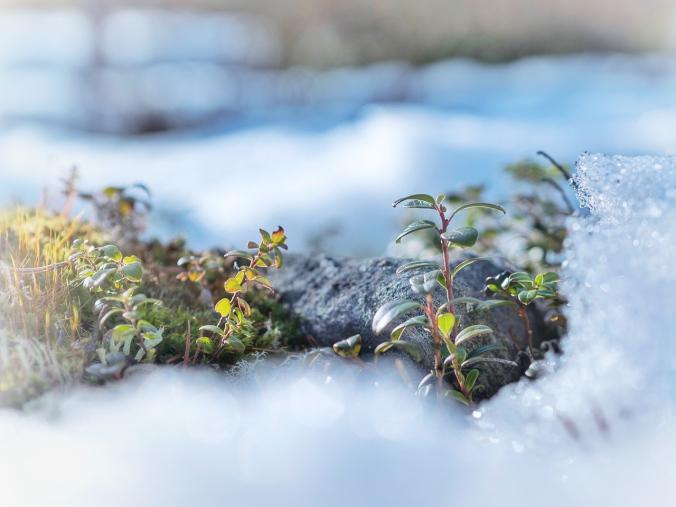 Puolukanvarsia lumen keskellä (Luohua)