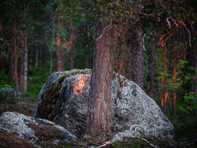 Metsä keskiyön auringossa